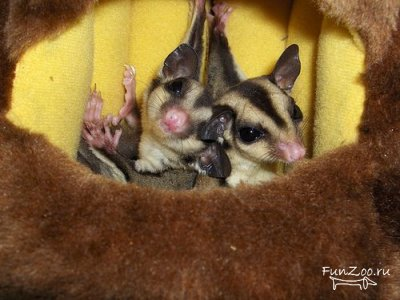 http://funzoo.ru/uploads/posts/2008-11/thumbs/1226770895_sugar_glider006.jpg